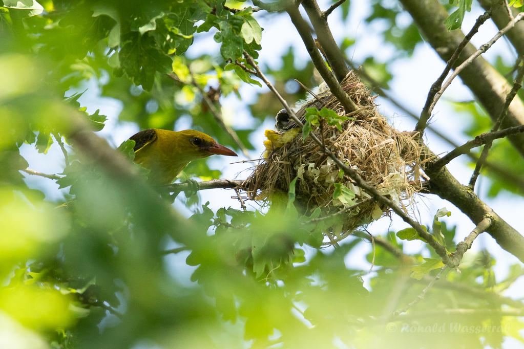 Pirol-Weibchen am Nest
