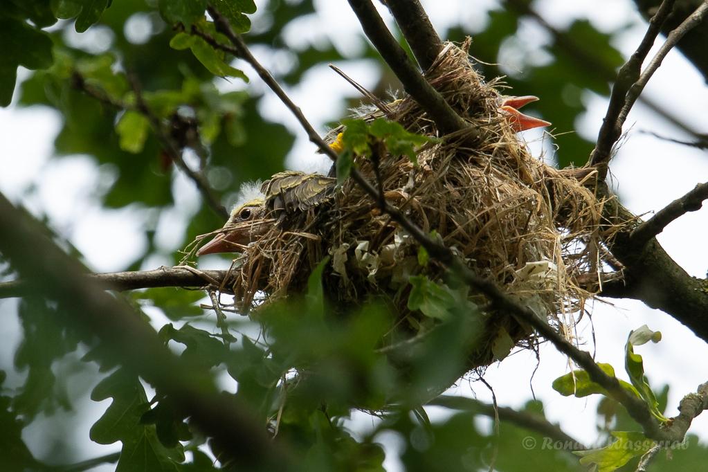 Pirol-Nest mit Küken