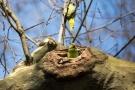 Halsbandsittich (Psittacula krameri) im Hofgarten Düsseldorf