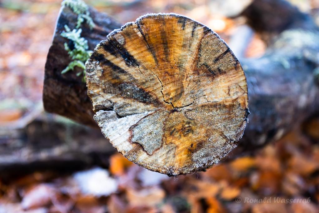 Baumschnitt im Hutewald Halloh