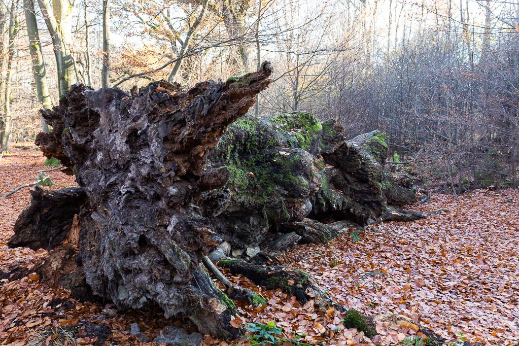 Totholz im Urwald Sababurg