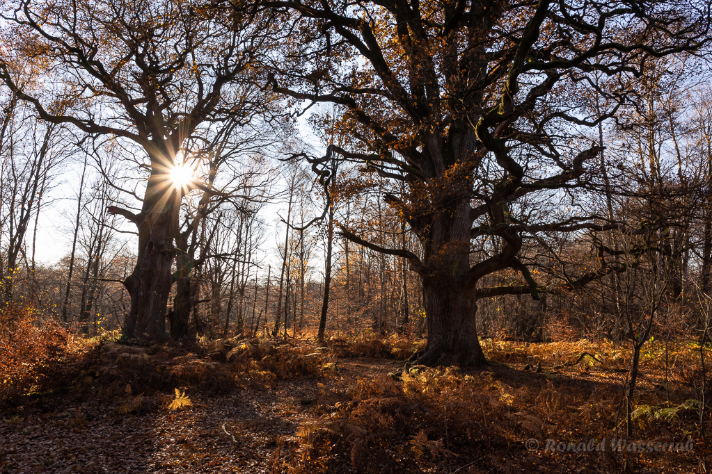 Sonne hinter der Rapp-Eiche im Urwald Sababurg