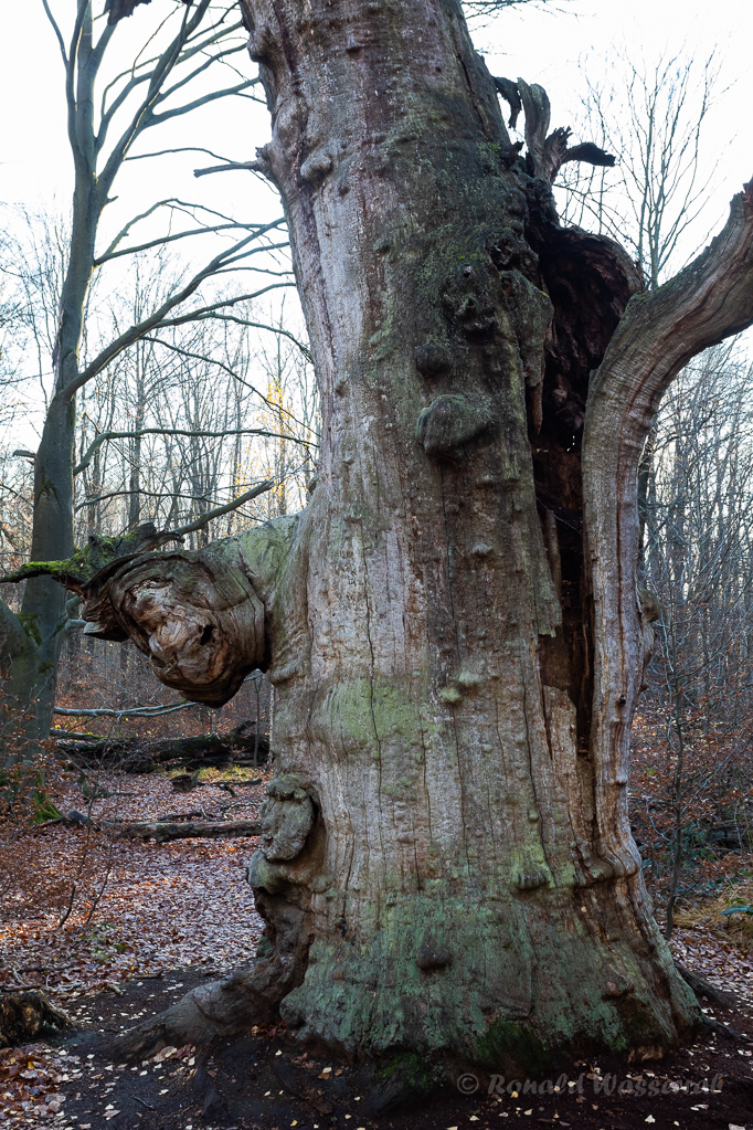 Zyklopeneiche Urwald Sababurg