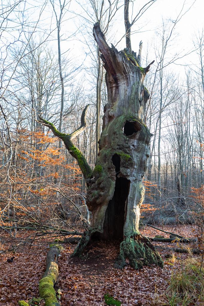 Toter Baum im Urwald Sababurg