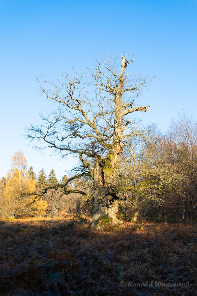 Monumentale Eiche im Urwald Sababurg