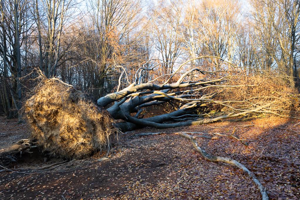 Umgestürzte Buche Urwald Sababurg