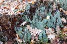 Totholz mit Flechte im Urwald Sababurg