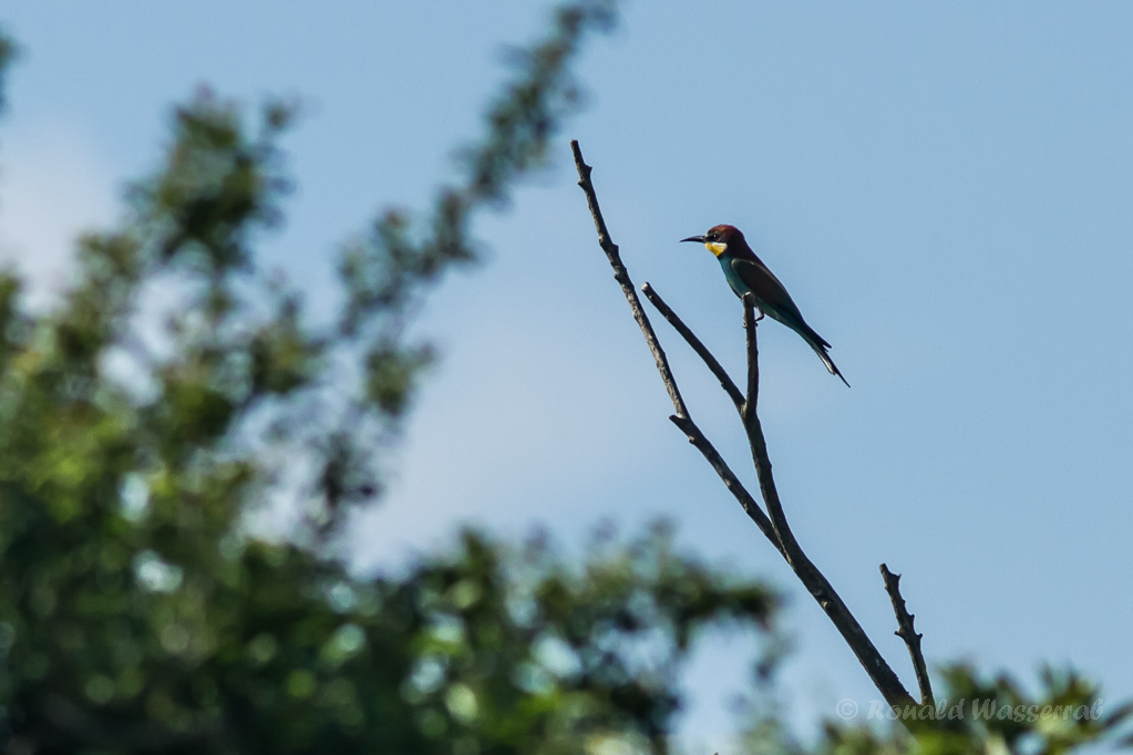 Bienenfresser (Merops apiaster) am Kapellenberg (Tuniberg bei Munzingen)