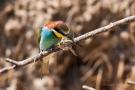 Bienenfresser mit Libelle