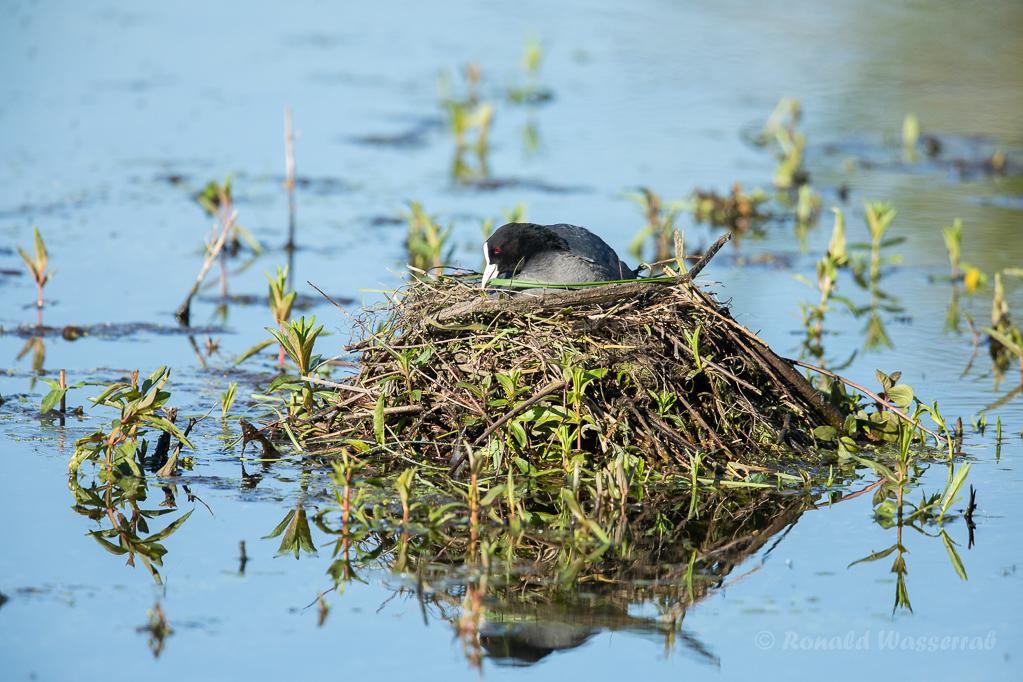 Blässhuhn-Nest (Fulica atra)
