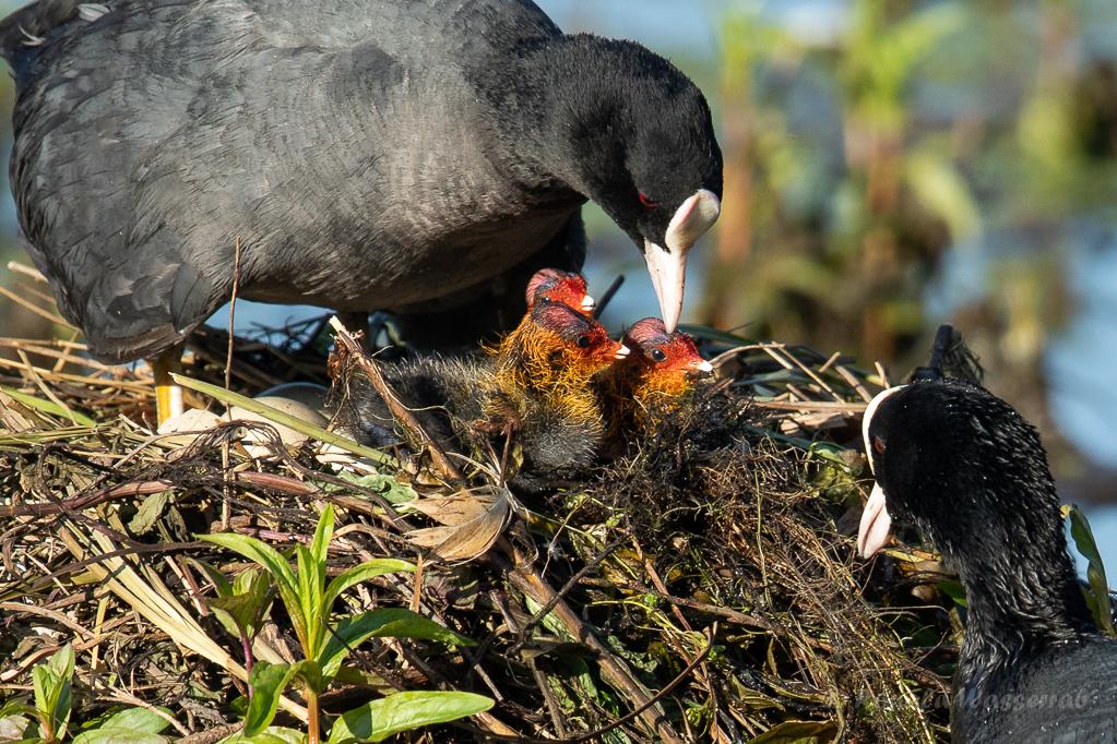 Fütterung der Blässhuhn-Küken (Fulica atra)