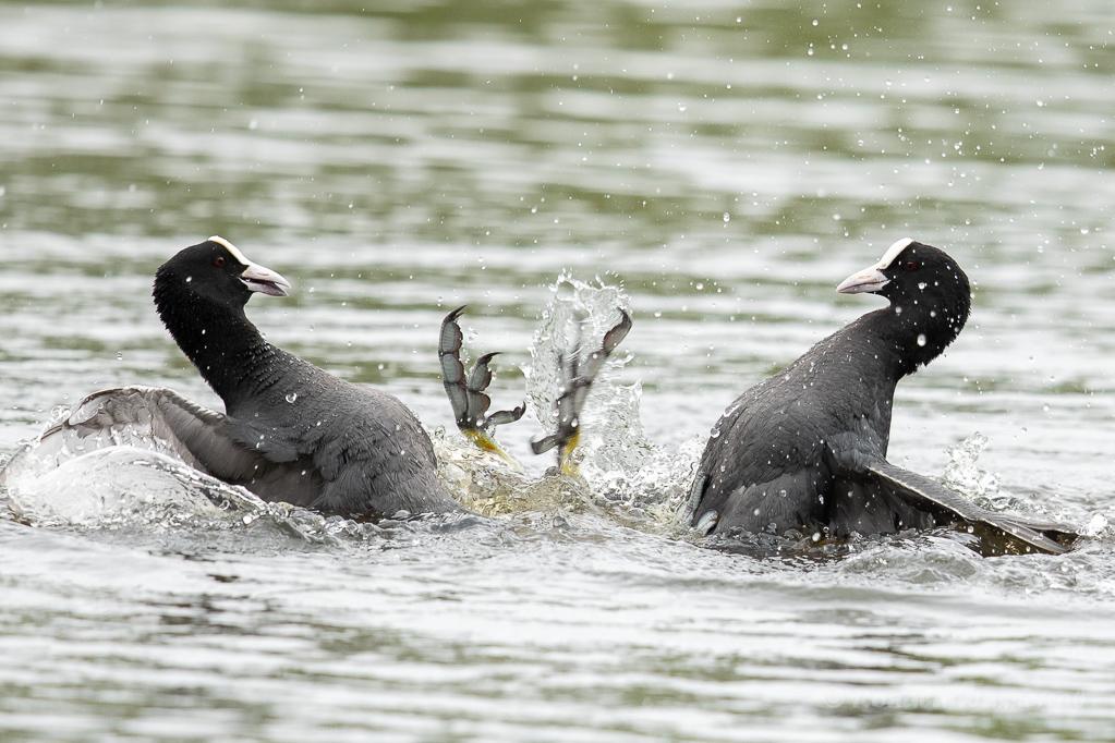 Prügelei unter Blässhühnern (Fulica atra)
