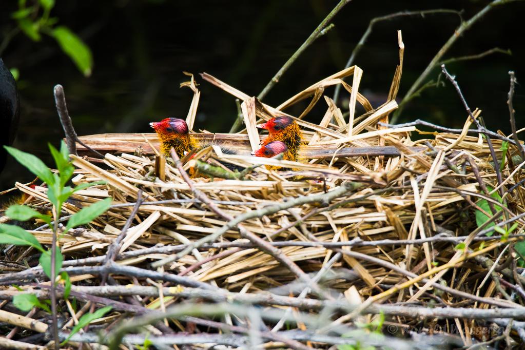 Blässhuhnküken (Fulica atra) im Nest auf der Nette