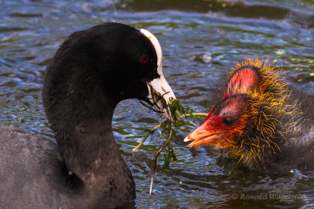 Fütterung der Blässhuhnküken (Fulica atra)