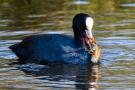 Der halb aufgefressene Kamberkrebs versucht, sich auch mit der zweiten Zange am Hals des Vogels festzukrallen