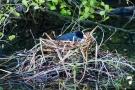 Die Blässhühner (Fulica atra) brüten in dem Nest, das die Haubentaucher begonnen haben zu bauen