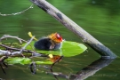 Blässhuhnküken (Fulica atra) auf Seerosenblatt