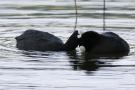 Schmusende Blässhühner (Fulica atra)