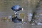 Blässhuhn (Fulica atra) auf dem Eis der Nette