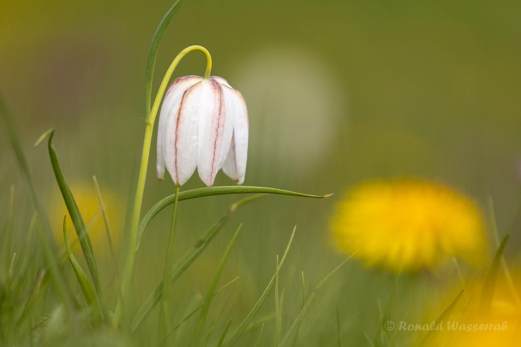 Weiße Schachblume