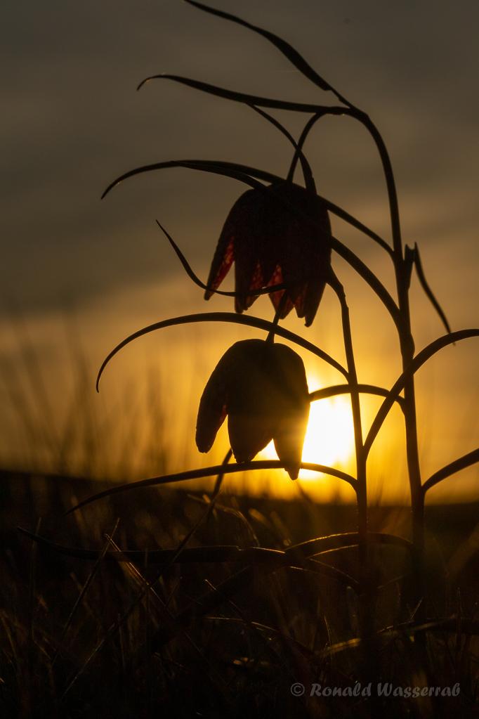 Schachbrettblumen im Sonnenuntergang