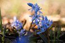 Blausterne in der Eifel