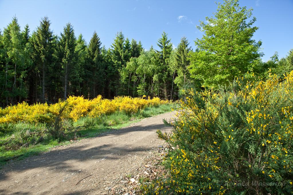 Ardbinnaweg während der Ginsterblüte im Hürtgenwald