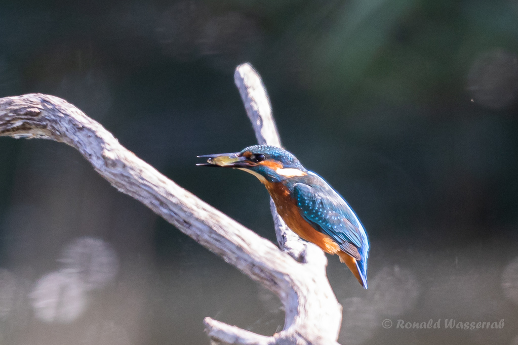 Eisvogel (Alcedo atthis) mit Fisch