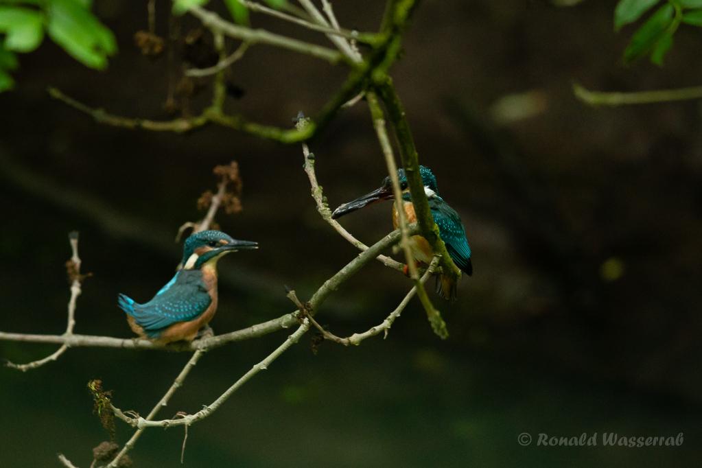 Der Altvogel lockt das Junge mit einem Fisch vom Nest weg