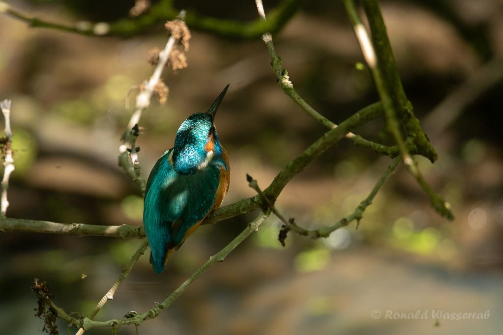 Junger Eisvogel (Alcedo atthis)