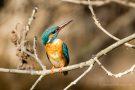 Eisvogel-Weibchen (Alcedo atthis)