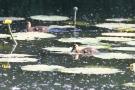 Stockenten-Küken (Anas platyrhynchos) in der Aach bei Moos