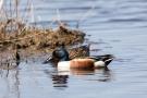 Löffelenten-Pärchen (Anas clypeata) im Schwimmenden Moor