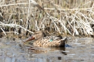 Löffelenten-Weibchen (Anas clypeata) im Schwimmenden Moor