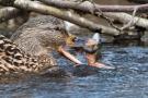 Stockente (Anas platyrhynchos) mit Frosch auf der Nette