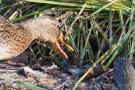 Stockenten-Weibchen (Anas platyrhynchos) mit Flussbarsch (Perca fluviatilis)