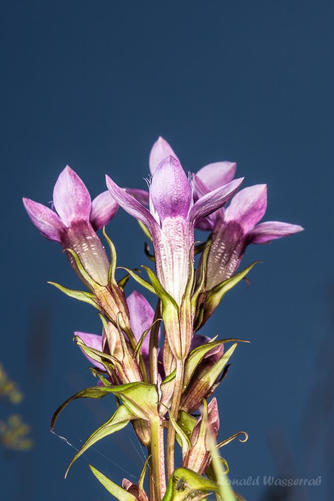 Deutscher Fransenenzian (Gentianella germanica) vor blauem Himmel