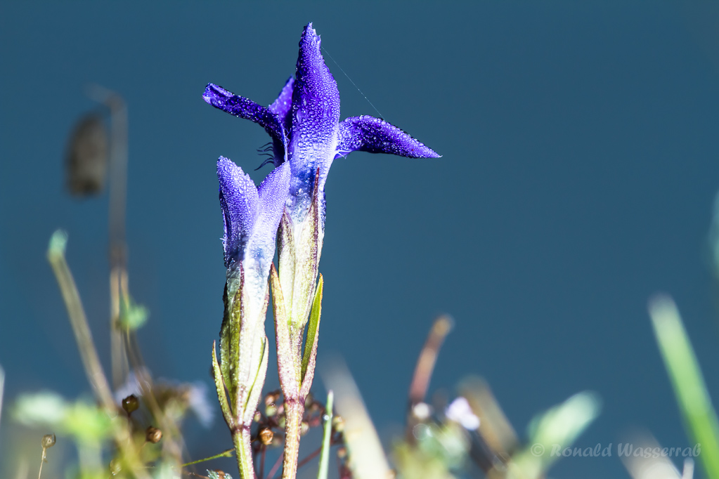 Fransenenzian (Gentianopsis ciliata)
