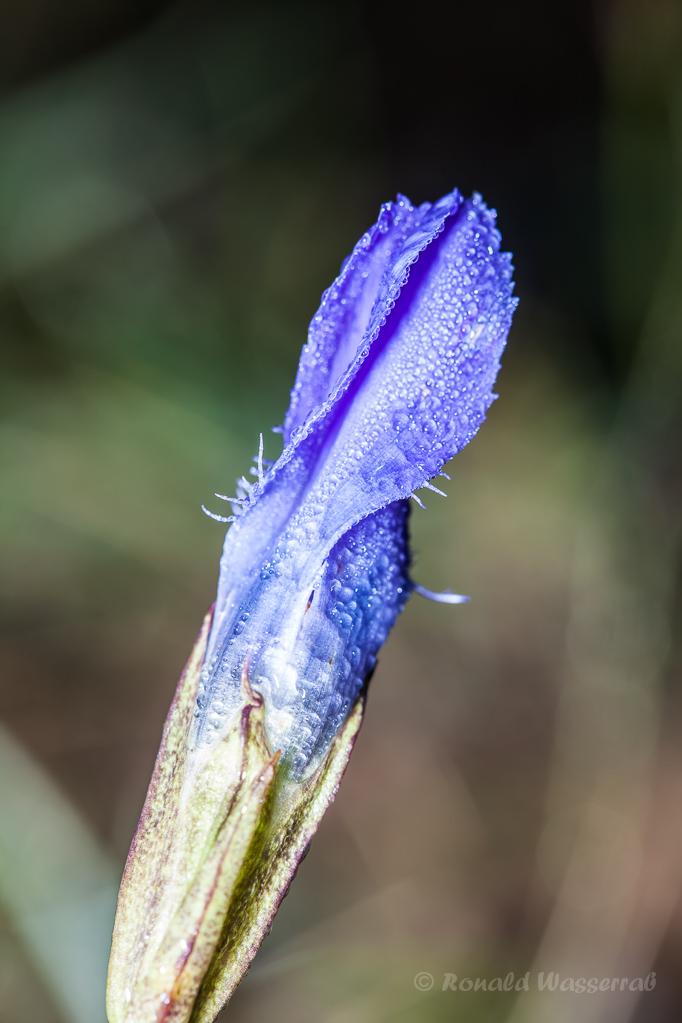 Geschlossener Fransenenzian (Gentianopsis ciliata)