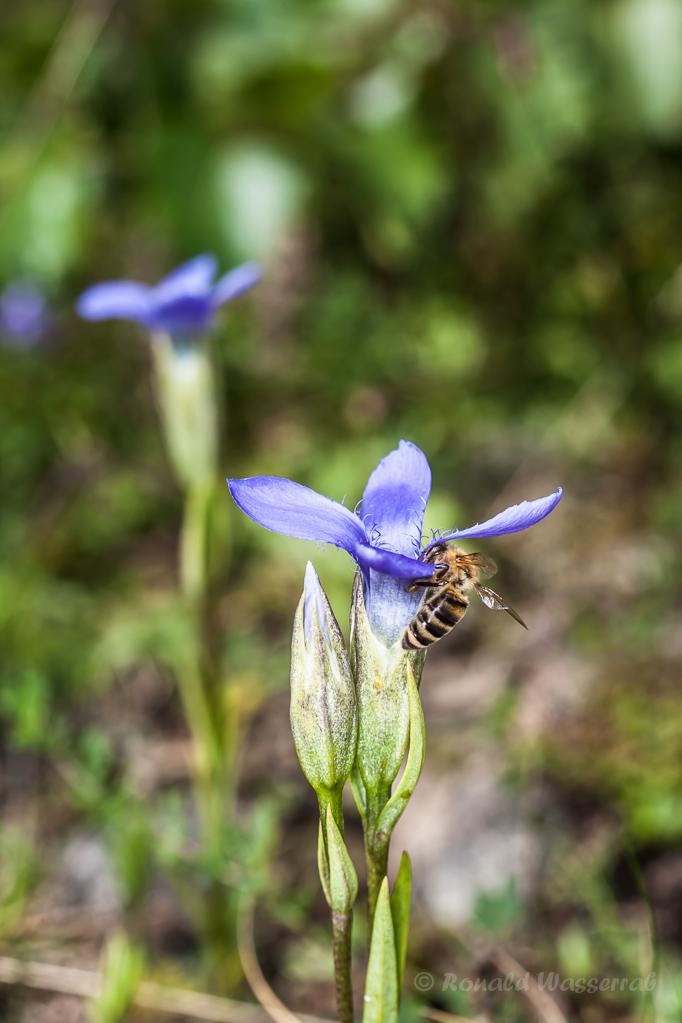 Gewöhnlicher Fransenenzian (Gentianopsis ciliata) mit Biene