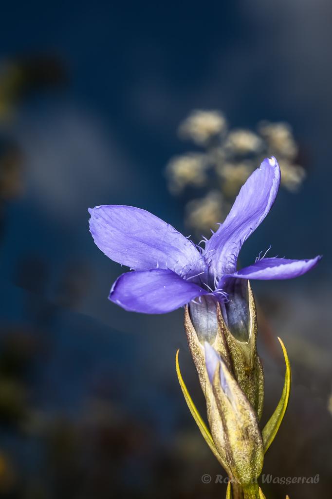 Gewöhnlicher Fransenenzian (Gentianopsis ciliata)