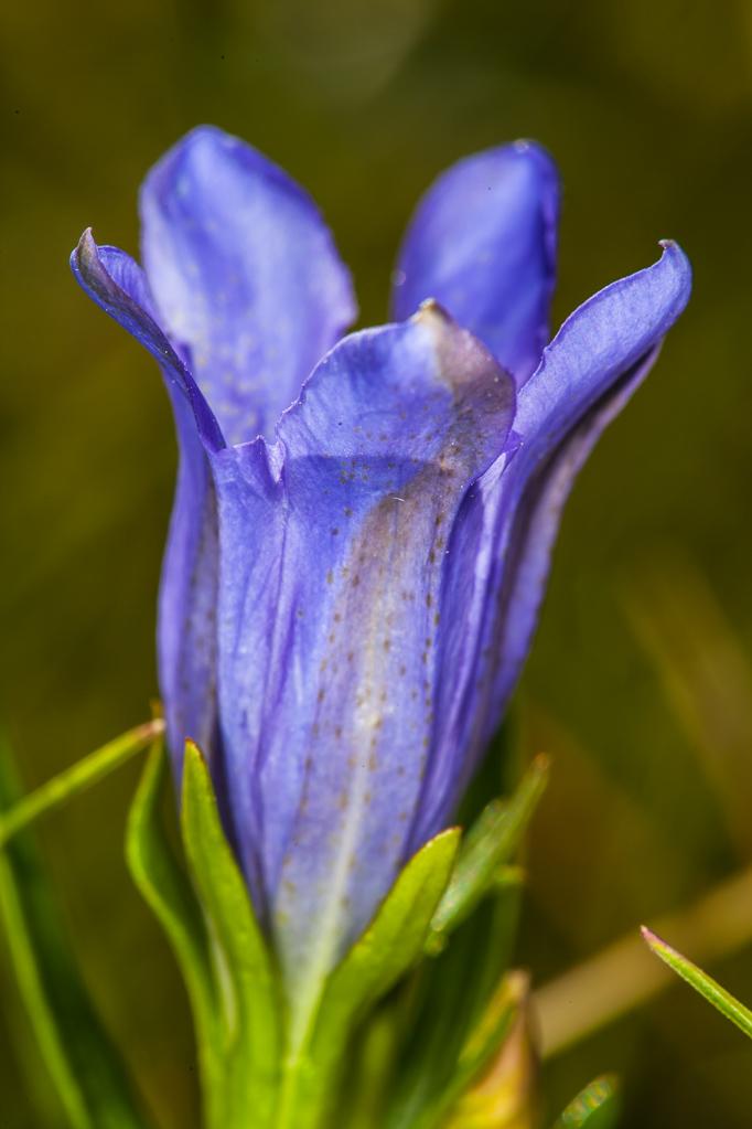Lungenenzian-Blüte (Gentiana pneumonanthe) in der Krekeler Heide