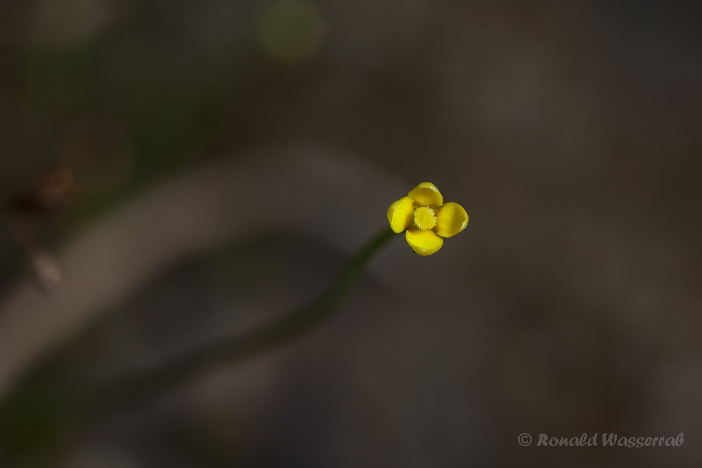 Fadenenzian (Cicendia filiformis)
