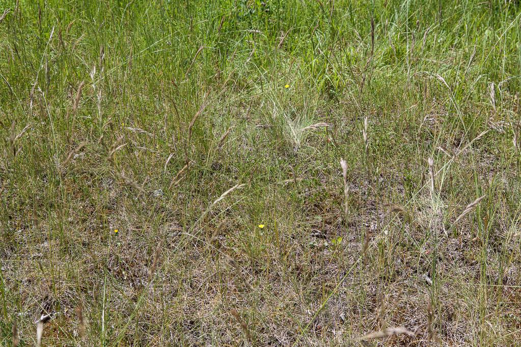 Durchwachsenblättriger Bitterling (Blackstonia perfoliata)