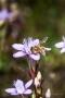 Biene auf Deutschem Fransenenzian