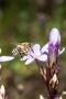 Deutscher Fransenenzian (Gentianella germanica) mit Biene