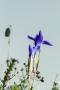 Fransenenzian (Gentianopsis ciliata) mit Tau am Tanzberg in Keldenich
