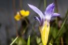 Gewöhnlicher Fransenenzian (Gentianopsis ciliata) - Seitenansicht