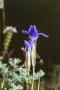 Gewöhnlicher Fransenenzian (Gentianopsis ciliata) am Tanzberg