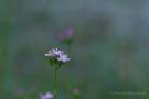 Echtes Tausendgüldenkraut (Centaurium erythraea)